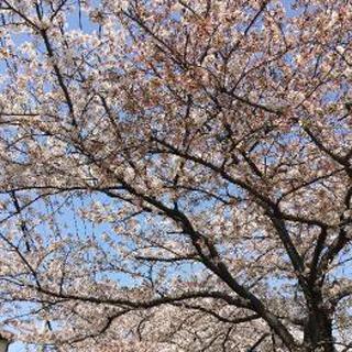 【千葉風俗】栄町ソープランド アラカルト【-A La Carte-】にこ【さくら????!】日記画像